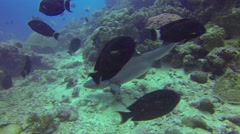 Sharks swimming in ocean over the coral reef - stock footage