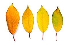 Assort of different autumn leaves isolated on white background. - stock photo