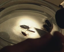 determine, identify arthropods using a petri-dish for microscope - stock footage