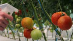 Water spraying tomatoes in greenhouse - Close up - stock footage