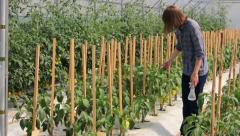 Girl checking peppers in greenhouse - wide angle - stock footage