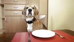 Beautiful beagle seating at the table and waiting on eat Stock Footage
