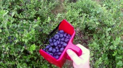 Picking blue whortleberries with a berry picker, at a blueberry field Stock Footage