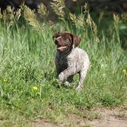 Puppy of German Shorthaired Pointer running - stock photo