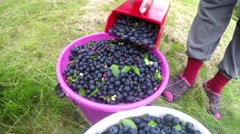 Picking blue huckleberries, vaccinium corymbosum, harvesting with berry picker Stock Footage
