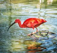 Stock Photo of Beautiful Scarlet ibis (Eudocimus ruber) in water