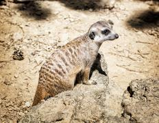 Meerkat (Suricata suricatta), close up portrait, animal theme Stock Photos