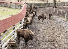 Group of European bison in the fenced paddock, animal scene - stock photo