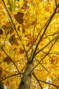 Big yellow tree, autumn scene, colorful november, vertical composition Stock Photos
