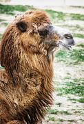 Bactrian camel portrait, humorous animal scene - stock photo
