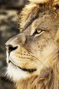 Barbary lion portrait (Panthera leo leo), endangered animal species Stock Photos