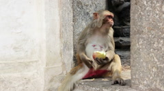 Monkey eating fruit Stock Footage