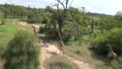 Giraffes running on the Savannah South Africa filmed from Drone Helicopter Stock Footage