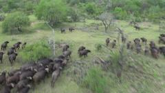 Water Buffalos running on the Savannah South Africa filmed from Drone Helicopter Stock Footage