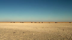 Distant wildebeest in desert landscape Stock Footage