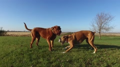 4k mastiff pins boxer in playfight Stock Footage