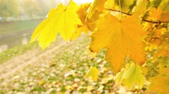 A fall scene, leafs are swinging in the wind and a leaf falls from a branch Stock Footage