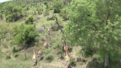 Giraffes running on the Savannah South Africa from drone Helicopter Stock Footage