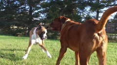 Super slo mo boxer mastiff playing outside Stock Footage