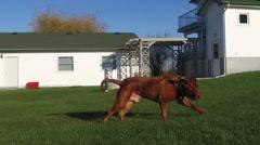 Super slo mo dogue de bordeaux (french mastiff) Stock Footage