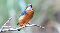 Common Kingfisher Stock Footage