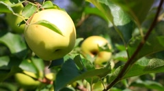 Delicious apples with blue sky in the background. Harvest apples. Stock Footage