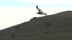 Condor family flying 1 Stock Footage