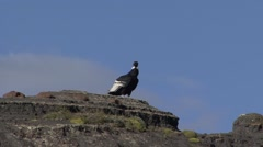 Condor taking of from cliff Stock Footage