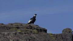 Condor satnding on cliff looking around Stock Footage