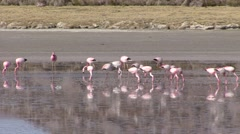 Flamingos feeding in water in the Andeas 2 - stock footage