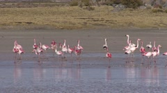 Flamingos feeding in water in the Andeas 4 - stock footage