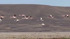 Flamingos flying in front of lake and Vicunas in the Andeas Stock Footage