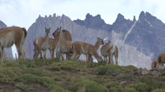 Guanaco herd feeding 1 Stock Footage