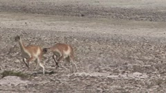 Guanacos chasing each other 1 Stock Footage