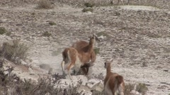 Guanacos quarreling and biting Stock Footage