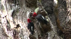 Magellanic Woodpecker males feeding on tree trunk Stock Footage