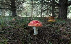 Fly Agaric and Boletus mushrooms in Pine Stock Photos