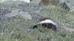 Patagonian Hog-nosed Skunk digging for food 1 Stock Footage