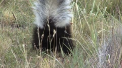 Patagonian Hog-nosed Skunk digging for food 10 Stock Footage