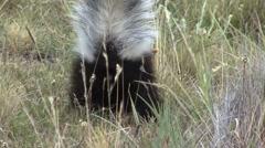 Patagonian Hog-nosed Skunk digging for food 10 - stock footage