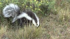 Patagonian Hog-nosed Skunk digging for food 5 Stock Footage