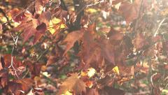 Dry maple acer leaves on autumn afternoon Stock Footage