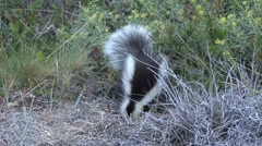 Patagonian Hog-nosed Skunk digging for food 9 Stock Footage