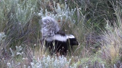 Patagonian Hog-nosed Skunk walking in bush sniffing 5 Stock Footage