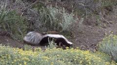 Patagonian Hog-nosed Skunk walking in bush 1 Stock Footage