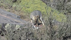 South American Grey Fox eating on pray 1 Stock Footage