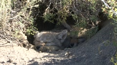 South American Grey Fox juveniles resting inside den 1 Stock Footage