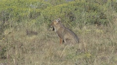 South American Grey Fox looking around 2 Stock Footage