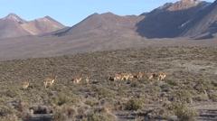 Vicunas herd feeding on grass field 4 Stock Footage
