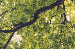 Ancient oaks leafy treetop Stock Photos